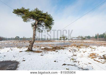 Scots Pine Tree In A Snowy Landscape