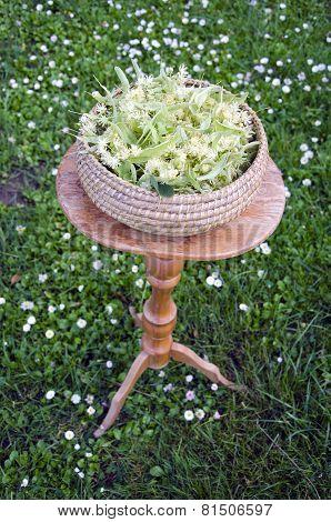 Fresh Summer Linden Tree Medical Blossoms In Wicker Basket