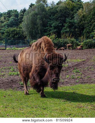 Portrait Of Buffalo