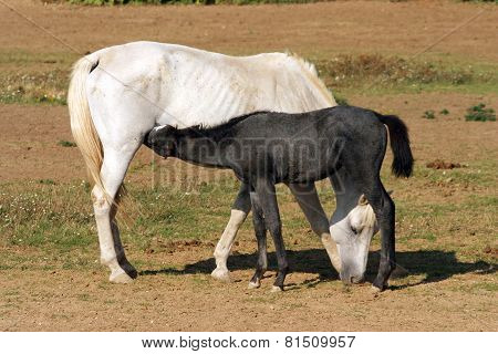 Thoroughbred Mare And Foal Breastfeeding In The Field Rural Scene
