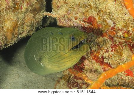 Green Moray (gymnothorax Funebris) - Roatan