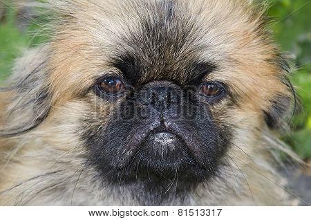 Dog Pekingese