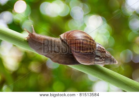 garden snail crawling on papyrus tree