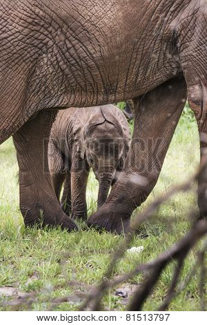 Baby Afrfican Elephant Calf Between The Legs Of Its Mother And Minders
