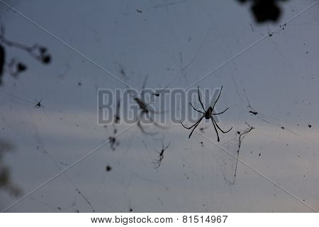 Multiple St Andrews Cross Spiders Together