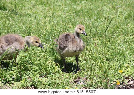 Goslings (Canada Geese)