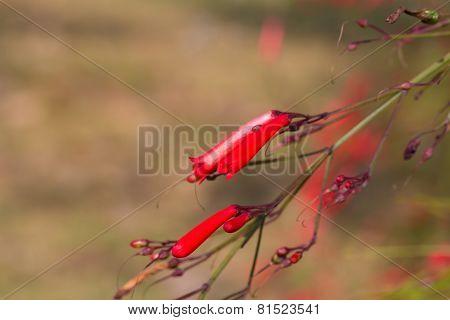 Russelia equisetiformis or firecracker plant flower