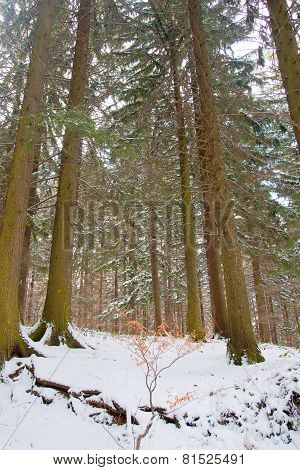 Romantic Snow Forest
