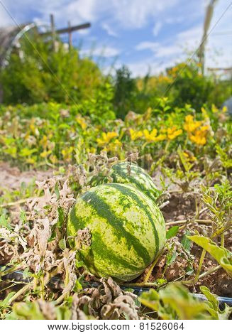 Ripe watermelon in organic farm on a beautiful sunny day
