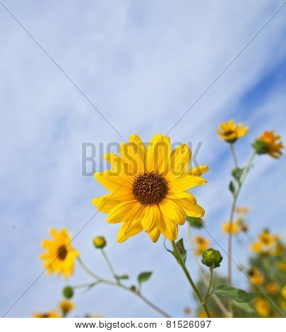 Balsamroot Balsamorhiza a genus of plants in the sunflower