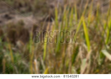 Blurry Image Of Rice Paddy Field