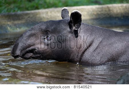 Malayan tapir swimming, close-up of head and neck