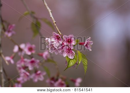 Wild Himalayan cherry flowers
