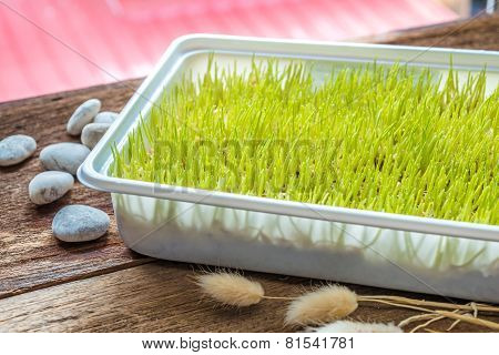 Freshly Grown Organic Wheatgrass Ready To Juice