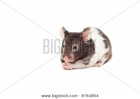 Hamster Enjoying His Treat