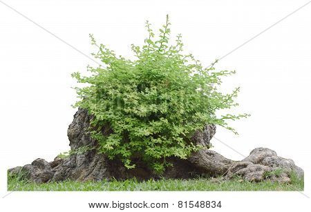 Bush On Tree Trunk Isolated With Clipping Path