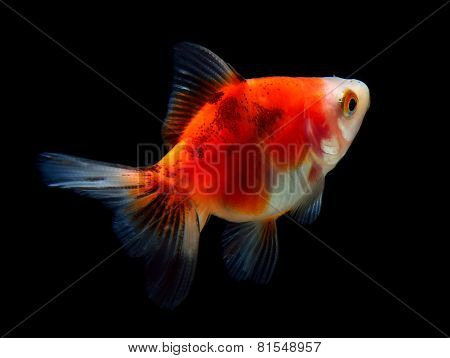 Gold Fish Isolated On Black