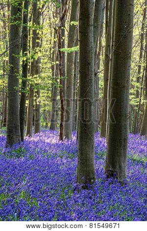 Stunning Bluebell Flowers In Spring Forest Landscape