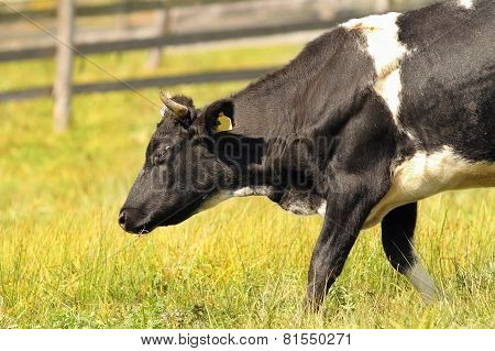 Holstein Cow On Green Meadow