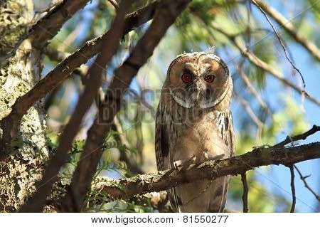 Juvenile Long Eared Owl