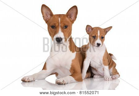 basenji dog and a puppy
