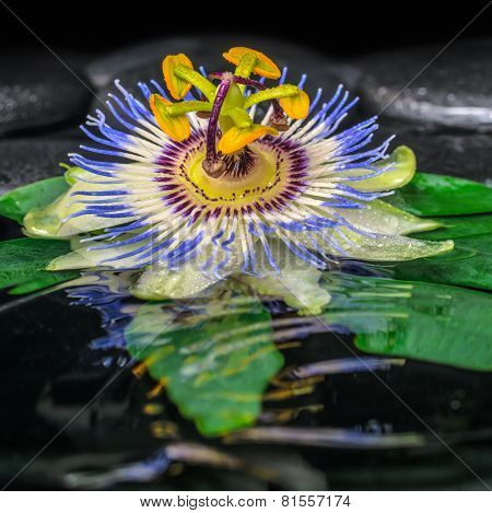 Spa Concept Of Passiflora Flower On Green Leaf, Zen Basalt Stones With Drops In Ripple Water, Closeu