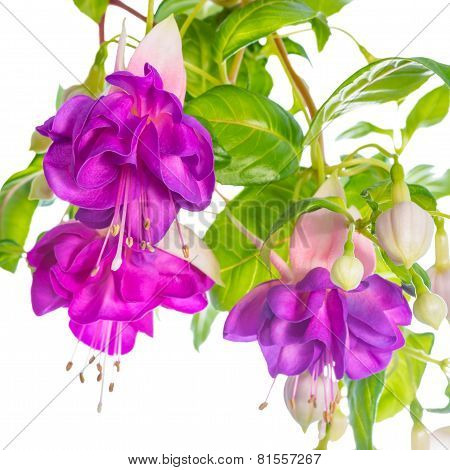 Branches Lilac Fuchsia Flower Is Isolated On White Background, `heydon`