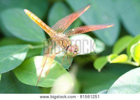 A skimmer dragonfly (Sympetrum sp.)