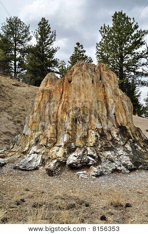 Petrified Redwood Tree Stump
