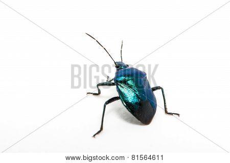 Purple Swollen-legged Beetle