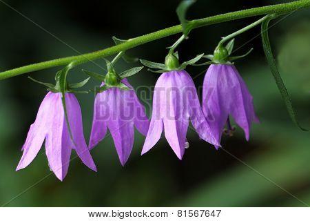 Blue Campanula rapunculoides flowers