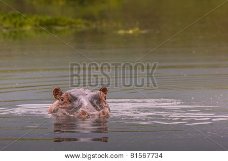 Hippos - Serengeti Wildlife Conservation Area, Safari, Tanzania, East Africa