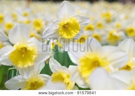 White Narcissuses