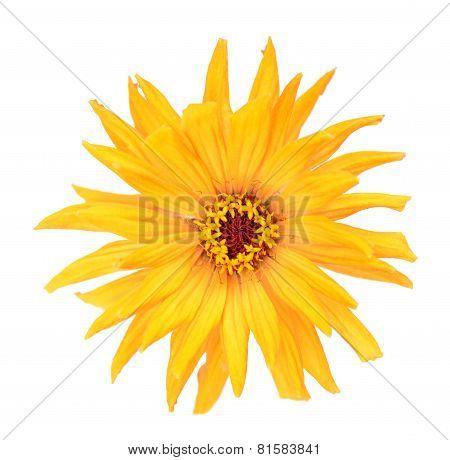 Yellow Zinnia