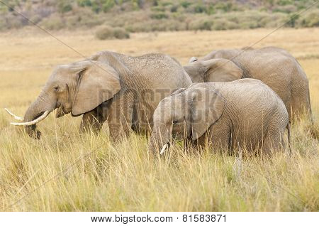 Herd Of African Bush Elephants