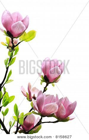 Spring Magnolia Tree Blossoms