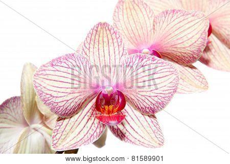 Orchidaceae Phalaenopsis