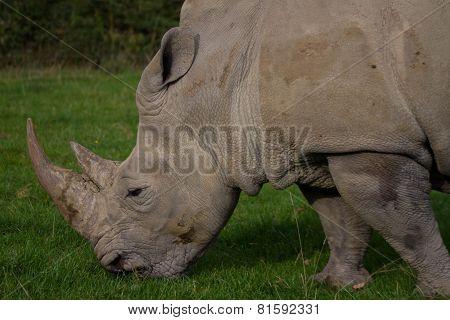 Rhinoceros, Rhino, Rhinocerotidae, Grazing.