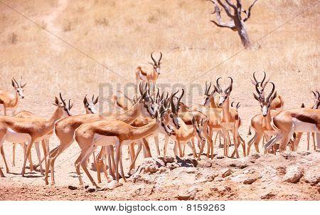Large Herd Of Springbok (antidorcas Marsupialis)