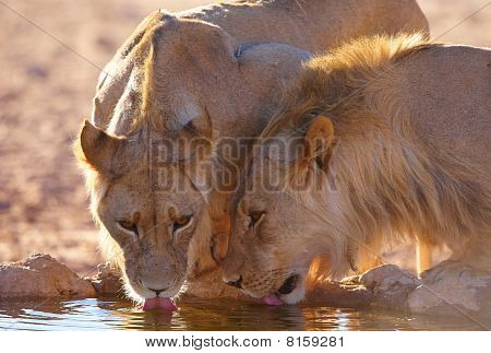 Two Lionesses (panthera Leo)