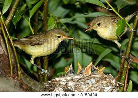 Icterine Warbler, Hippolais Icterina By The Nest