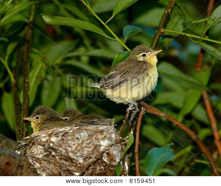 Icterine Warbler, Hippolais Icterina. Nest