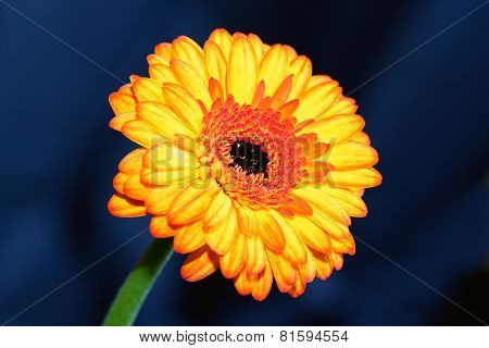 The Gerbera (Barberton Daisy)