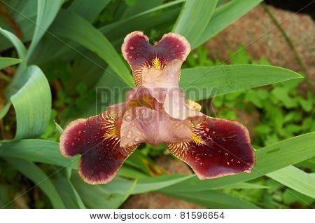 Top View Of Burgundy Iris Flower In The Garden