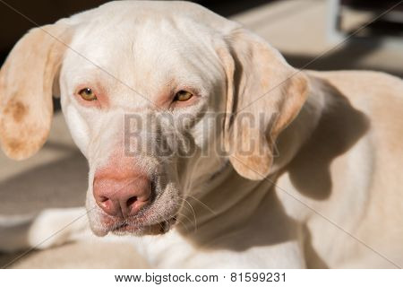 Pure-bred 'American' yellow lab face