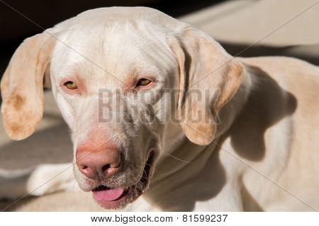 Pure-bred 'American' yellow labrador