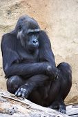 picture of gorilla  - A young gorilla female with low state in the monkey family on rock background - JPG