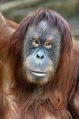 stock photo of orangutan  - Closeup portrait of an orangutan female - JPG