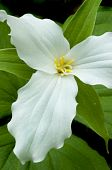 stock photo of trillium  - Closeup of a white trillium grandiflorum wildflower photographed in Great Smoky Mountains National Park on the border of North Carolina and Tennessee - JPG