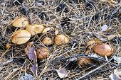pic of pine-needle  - Mushrooms pine cones bark and twigs on dry needles - JPG